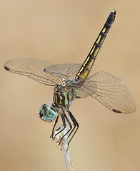 Blue Dasher, female in obelisk pose (birding4ever) Tags: 5 bluedasher pachydiplaxlongipennis ourwonderfulandfragileworld dragonflygallery illuminationsinthewild defenders{detailednature}macroandcloseup naturescarousel damniwishidtakenthat colorsoftheheart thesunshinegroup bestofdamniwishidtakenthat ngc naturesgoldencarousel coth5 amazingimpressionsofnature sjohnsonsfaunahighqualityimages npc naturesplatinumcarousel arborsquareanaturegroup dreamsilldream naturallywonderful butterflydreams naturespotofgoldlevel1 naturesgallery naturesprime worldnatureandwildlifegroup worldnatureandwildlifehalloffame naturesspirit naturespotofgoldlevel2 naturespotofgoldlevel3 naturesgarden thenaturessoul thenaturessoulelite macroelitelevel2 powerofphotographylevel1 powerofphotographylevel2 powerofphotographylevel3 powerofphotographylevel4 naturespotofgoldsuperstars everythinggoodinnature everythinggoodinnaturepremium