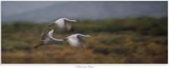Morning Mayhem (Khurram Khan...) Tags: wild nature ilovenature nikon conservation cranes nikkor bosquedelapache sandhillcranes naturephotography wildlifephotography ilovewildlife iamnikon khurramk khurramkhan