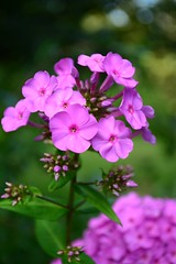 Pretty in Pink (Bubash) Tags: pink flowers summer blossom blooms phlox perennial
