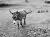 clare 102edit (barry.oshea) Tags: ireland sea white black water clare donkey ennistymon lehinch