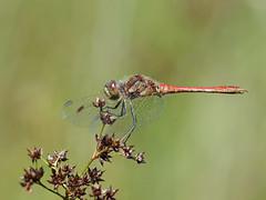 Steenrode heidelibel man
