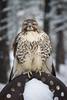 Frozen Hawk (Jon David Nelson) Tags: redtailedhawk buteojamaicensis raptors birdsofprey education conservation centraloregon highdesert wildlife
