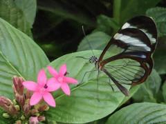 The Glasswinged Butterfly (Steve Taylor (Photography)) Tags: glasswinged butterfly insect art digital uk gb england greatbritain unitedkingdom flower plant flora leaves