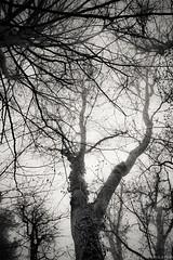 Dendrites (photofabulation) Tags: dendrites arbres trees troncs vaud romandie suisse switzerland europe europa
