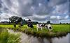 Cows. (Alex-de-Haas) Tags: dutch holland hollandseluchten nederland netherlands noordholland zaanseschans clouds cows gras grass grasslands koeien landscape landschap meadow meadows oerhollands skies sky summer sunny weiland weilanden wolken zomer zonnig