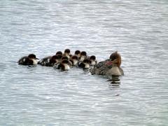 Merganser with ducklings (stuartcroy) Tags: merkister merganser duck duckling diving ducks orkney island beautiful bird