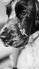 Miradas (Giorgio Lumaconi) Tags: cockerspanielingles englishcockerspaniel cocker dog perro bluemystic fuji fotografosdeuruguay fujifilm fujifilmxpro1 fujinon35mmf14 fujixpro1