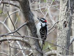 Downy Woodpecker 2 (D. S. Hałas) Tags: halas hałas canada ontario haltonregion haltoncounty oakville chordata sarcopterygii aves piciformes picidae picoidespubescens dryobatespubescens downywoodpecker woodpecker bird nipegontrail