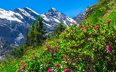 Tschingelspitx (3314 m), Gspaltenhorn (3436 m) (Martin Štěpán) Tags: alps alpy flower hory květina léto mountains pink rosarot rostlina růžová summer switzerland švýcarsko lauterbrunnen bern ch