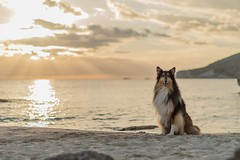 53/52 Leia & We add one more, now 2017 (shila009) Tags: leia dog perro roughcollie tricolor sunset beach year water sunrays smile happydog cute clouds playa atardecer rayosdesol colours sky 52weeksfordogs