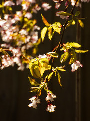 Cherry Bokeh Blossom (Steve Taylor (Photography)) Tags: cherry blossom bokeh art digital black green yellow white pink timber wood newzealand nz southisland canterbury christchurch northnewbrighton sunny sunshine tree branch flower