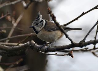 Parus cristatus - Crested tit - Mésange huppée -  09/03/09