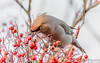 That's my berry (davidrhall1234) Tags: waxwing wildlife world woodland nature nikon nikond7100 urban birds bird birdsofbritain migrant outdoor feather berry
