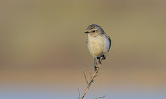 Stonechat (Saxicola torquata) (Bob Eade) Tags: birds stejnegersstonechat dungeness kent stonechat saxicolastejnegeri