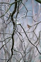 Fringuello (MILESI FEDERICO) Tags: milesi milesifederico bird uccello volatile wild wildlife winter inverno febbraio 2017 nikon nikond7100 nital nature natura nat sigma sigma150500 d7100