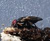 Little Boatman flies Pogonortalis sp Platystomatidae Diptera Airlie Beach P1170488 (Steve & Alison1) Tags: little boatman flies pogonortalis sp platystomatidae diptera airlie beach