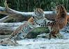 sumatran tiger Burgerszoo JN6A1361 (j.a.kok) Tags: tijger tiger sumatraansetijger sumatrantiger pantheratigrissumatrae tess nonja burgerszoo burgerzoo kat cat mammal zoogdier predator azie asia sumatra