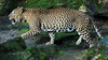 shrillankan panther Burgerszoo JN6A9804 (j.a.kok) Tags: burgerszoo panter luipaard panther leopard shrilankanpanther shrilankanleopard shrilankapanter pantheraparduskotya cat kat mammal predator shrilanka azie asia