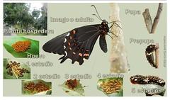 Heraclides rogeri pharnaces (Hugo Álvarez-García) Tags: heraclides rogeri pharnaces papilionidae cycle life estadios inmaduros