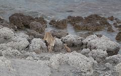 Chile (richard.mcmanus.) Tags: chile torresdelpaine southamerica puma cougar mountainlion bigcat wildlife gettyimages mcmanus cat patagonia