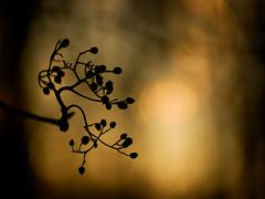 _IGP3248_webb (Erik Koffmar) Tags: winterlight winter koffmar sweden uppsala norby pentax k10d 135mmf28 meyer görlitz m42 meyergörlitz doubleexposure bokeh bokehmonster orrestor orestor forest wood tree vintagelens vintage afternoon sunset golden goldenlight magic