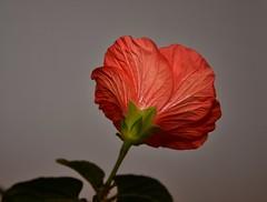 Hibiskusblüte...... (Oldtimer -2016) Tags: natur farbenpracht farbe color blüten blüte blume pflanze flora all hibiskus