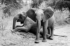 Elephants playing (My Planet Experience) Tags: african elephant africanbushelephant loxodontaafricana two young teen bush blackandwhite bw wildlife animal nopeople day horizontal majete reserve malawi endangered species iucn redlist mw southern africa myplanetexperience wwwmyplanetexperiencecom