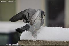Pigeon ready to fly (BesimIbrahimii) Tags: snow pigeon cold freezing fly macro mitrovice kosovo albania europe outdoor animal animals flying