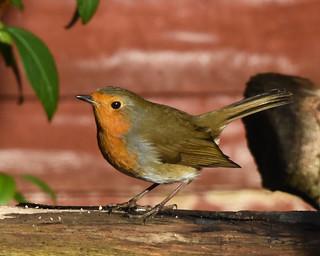 Robin D210bob DSC_3356