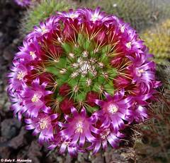 Mi gordo florido . (Caty V. mazarias antoranz) Tags: acaress kisses besos pinchos cactus flres nature naturaleza españa flowers cacto suculentas succulents espinas cactusconflores