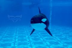 Shamu up close (txhorselovingirl) Tags: world sea orlando dolphin killer whale orca seaworld shamu