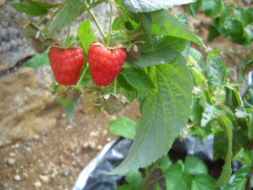 UK Raspberry fruit Jul 31, 2014
