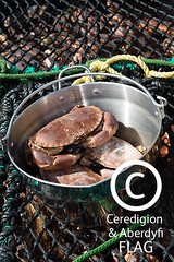 Crabs in metal pan / Crancod mewn padell haearn (Ceredigion Fisheries Local Action Group (FLAG)) Tags: uk wales boat town fishing crab aberystwyth lobster welsh cardiganbay seafish inshorefishing johngorman