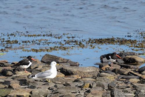 20150628-DSCF7236 Common Gull Oystercatcher Stennes Orkney.jpg