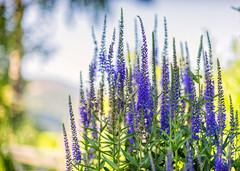 Veronica (Collabois) Tags: plant fleur plante nikon vert veronica vronique d600