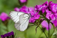 Dinner (Darius Baužys) Tags: white black macro nature closeup dinner butterfly moth veined aporia crataegi baltukas gudobelinis šliaudrys
