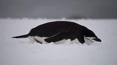 00006 (Roy Prasad) Tags: ocean travel cruise sea mountain snow reflection ice expedition water rock landscape island penguin boat video ship sony antarctica chick glacier adapter whale orca iceberg zodiac tamron prasad halfmoon 70200mm chinstrap a7ii 150600mm royprasad a7m2 lae4 ilce7m2 halfmoonisalnd