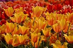 it's baaaaack.... (armykat) Tags: flowers floral garden tulips tulip longwoodgardens natureycrap kennettsquarepennsylvania tulipalooza2015