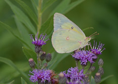Clouded sulphur on ironweed (KsCattails) Tags: flower macro nature yellow butterfly insect nikon purple outdoor pale kansas overlandpark overlandparkarboretum cloudedsulphur ironweed johnsonco d7000 kscattails