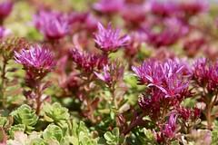 Pink and Green (Read2me) Tags: she cye flower green dof bokeh thechallengefactory pink gamesweepwinner challengeclubwinner pregamewinner