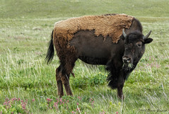 Shedding the winter coat  0796 (Bonnieg2010) Tags: wild nature animal alberta bison eatinggrass watertonlakesnationalpark allrightsreserved losingwintercoat bonniegrzesiak watertonbisonpaddock