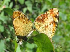 Tawny crescent (Phyciodes batesii lakota) (tigerbeatlefreak) Tags: butterfly nebraska crescent lepidoptera phyciodes tawny batesii