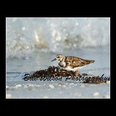 Ruddy Turnstone (wildlifephotonj) Tags: bird nature birds wildlife beachbirds naturephotography shorebirds ruddyturnstone ruddyturnstones wadingbirds naturephotos wildlifephotography wildlifephotos natureprints