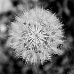 High Contrast Seed Head (Witty nickname) Tags: blackandwhite bw macro square blackwhite seed dandelion seeds squareformat squarecrop nikkor2470mmf28 nikond800