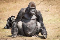 2015-07-16-12h37m26.BL7R7787 (A.J. Haverkamp) Tags: netherlands zoo gorilla thenetherlands beeksebergen noordbrabant dierentuin hilvarenbeek safariparkbeeksebergen westelijkelaaglandgorilla canonef100400mmf4556lisusmlens pobapeldoornthenetherlands mbewe httpwwwsafariparknl dob19111997