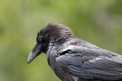 Common Raven (N_A_Waters) Tags: bird nature animal canon wildlife yellowstone 400mm