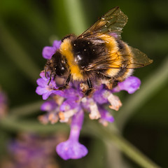 """Bee on Lavender II • <a style=""""font-size:0.8em;"""" href=""""http://www.flickr.com/photos/53908815@N02/19951318121/"""" target=""""_blank"""">View on Flickr</a>"""
