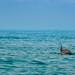 whale shark Holbox island Mexico Walhai