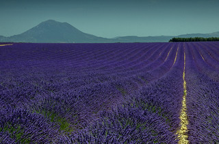 Lavender fields in Alpes de Haute, Provence, Plateau de Valensole in France.