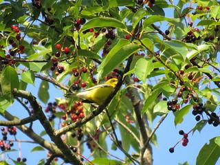 Blue-winged Warbler (Evansburg SP)